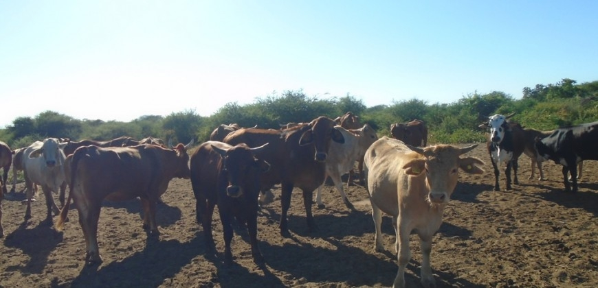 Cattle in the farm