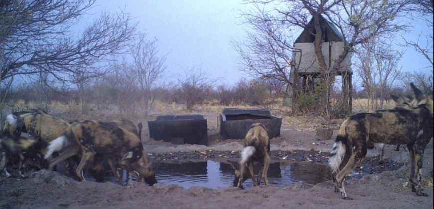 Wild dogs with pups